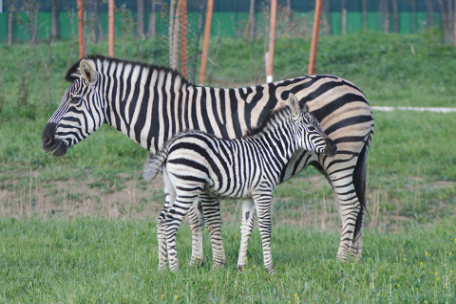 parchi-zoo-safari-zebre